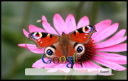 Pink Daisy With Butterfly